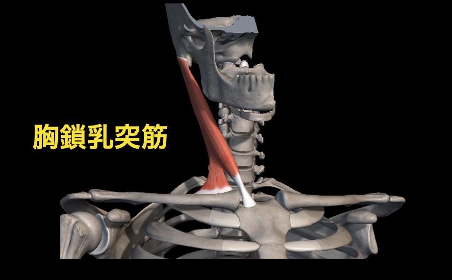 右の胸鎖乳突筋