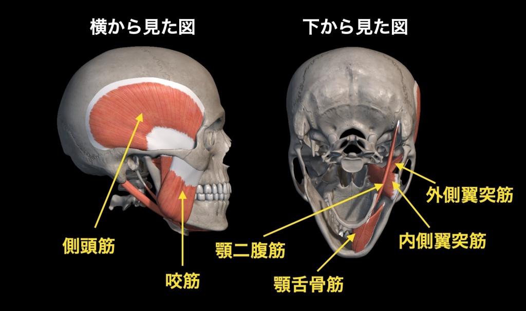 顎関節に関与する筋