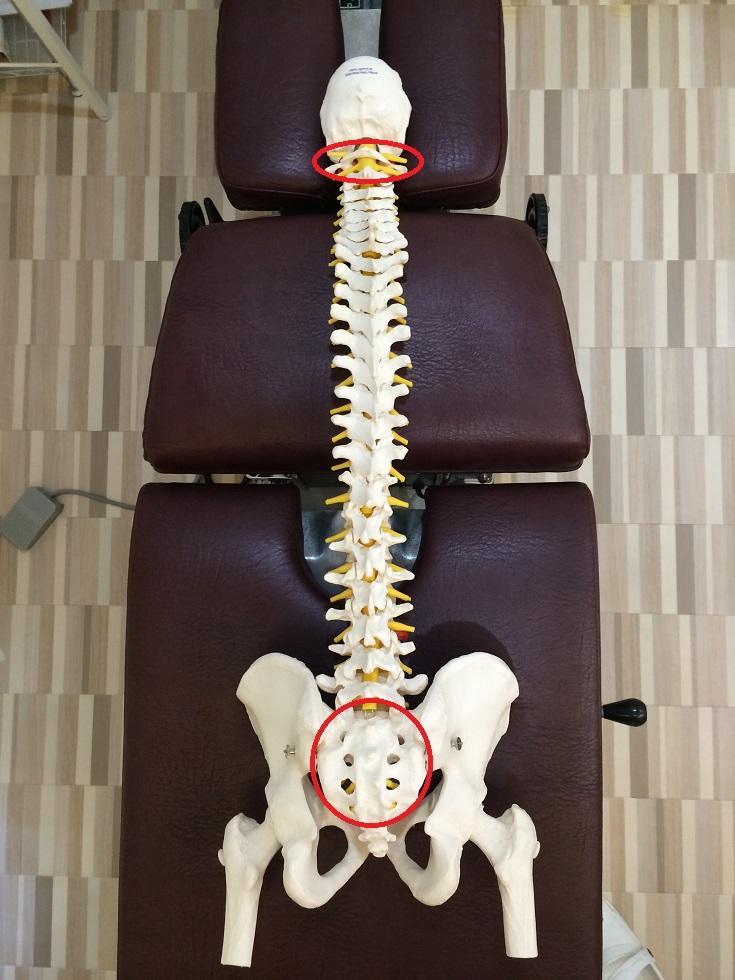 背骨と骨盤の模型