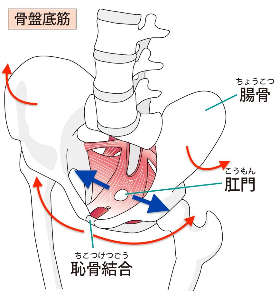 骨盤底筋の位置