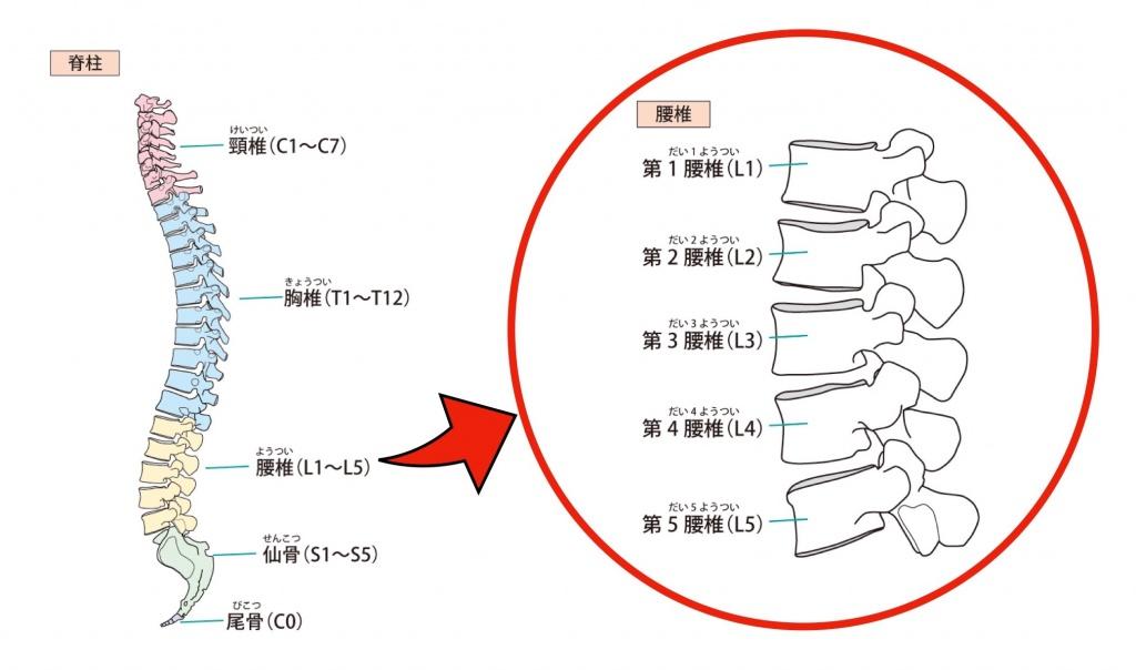 腰椎拡大図
