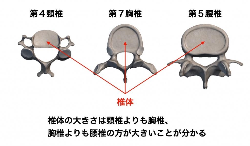 椎体の大きさ